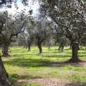 In In Sicilia nessun focolaio di Xylella. C'è la certificazione ufficiale della Regione