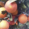 Crisi agricola. Agrinsieme Sicilia servono risposte tempestive
