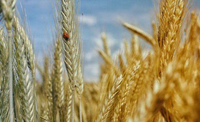 Coltivazioni Bio, allarme di Confagricoltura. La produzione del frumento bio in Sicilia potrebbe ridursi di un terzo